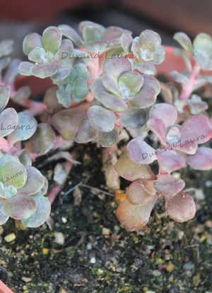 Sedum Spathulifolium Purpureum ou Orpin Spatulé Pourpre