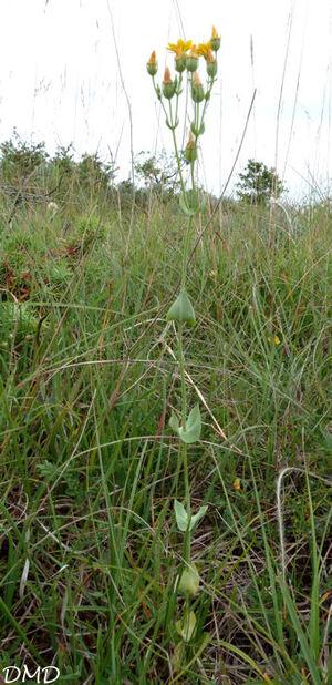 Blackstonia perfoliata  -   centaurée perfoliée