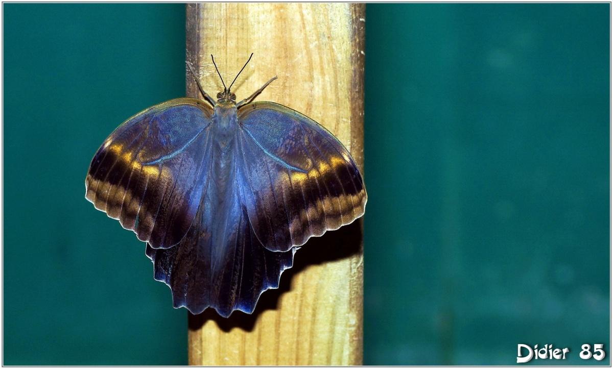 Caligo (2) - Papillon Hibou