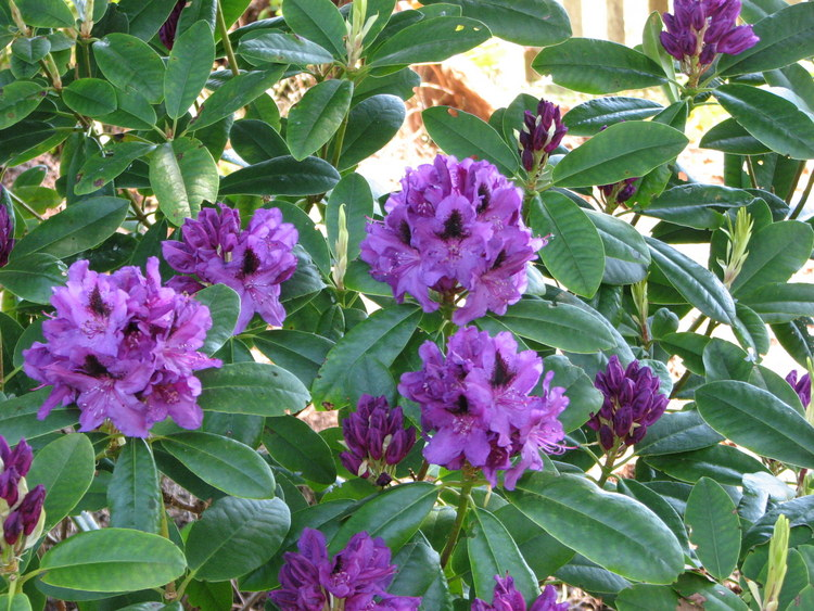 Nouvelles du Canada 168 : Rhododendrons