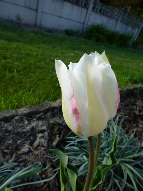 Re-tulipes