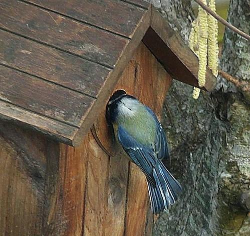 Mesange-bleue-en-visite--P1160791.JPG