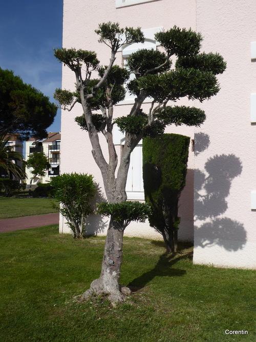 Un arbre bien taillé !