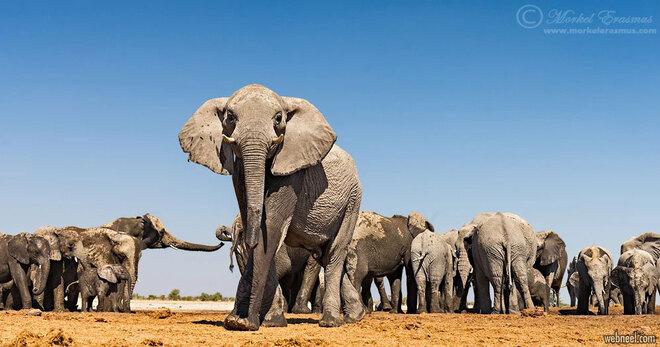 wildlife photography elephant herd by morkel erasmus