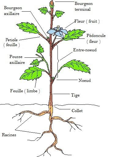 Le v g tal organisation hortidact for Plante 21 svt