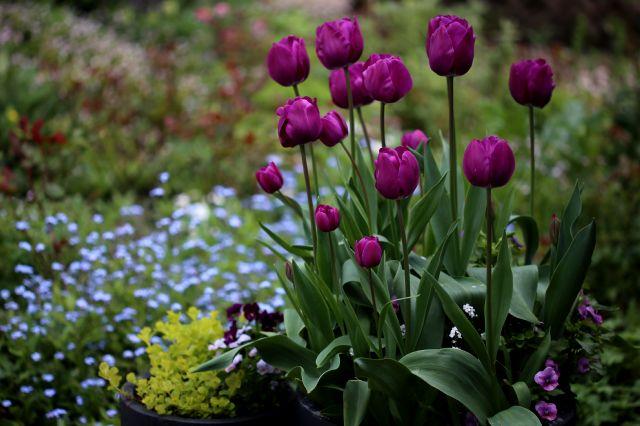 Tulipes 2020 : Purple Flag - Burgundy - Negrita et Arabian Mystery