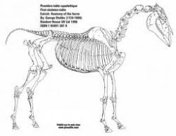 L'Anatomie du cheval