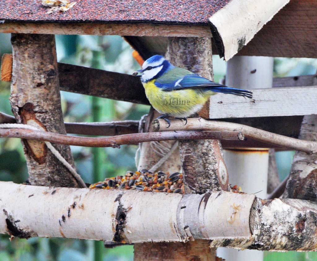 Oiseaux de mon jardin!