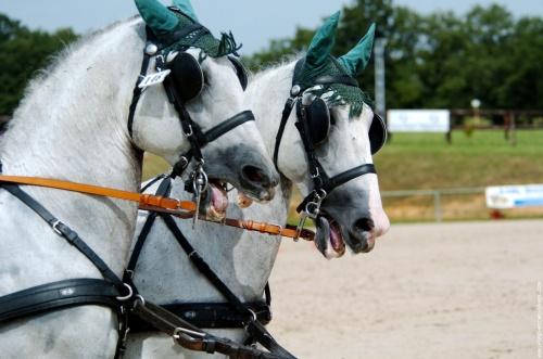 """""""Détail sur l'arnachement  des 2 chevaux blancs"""""""