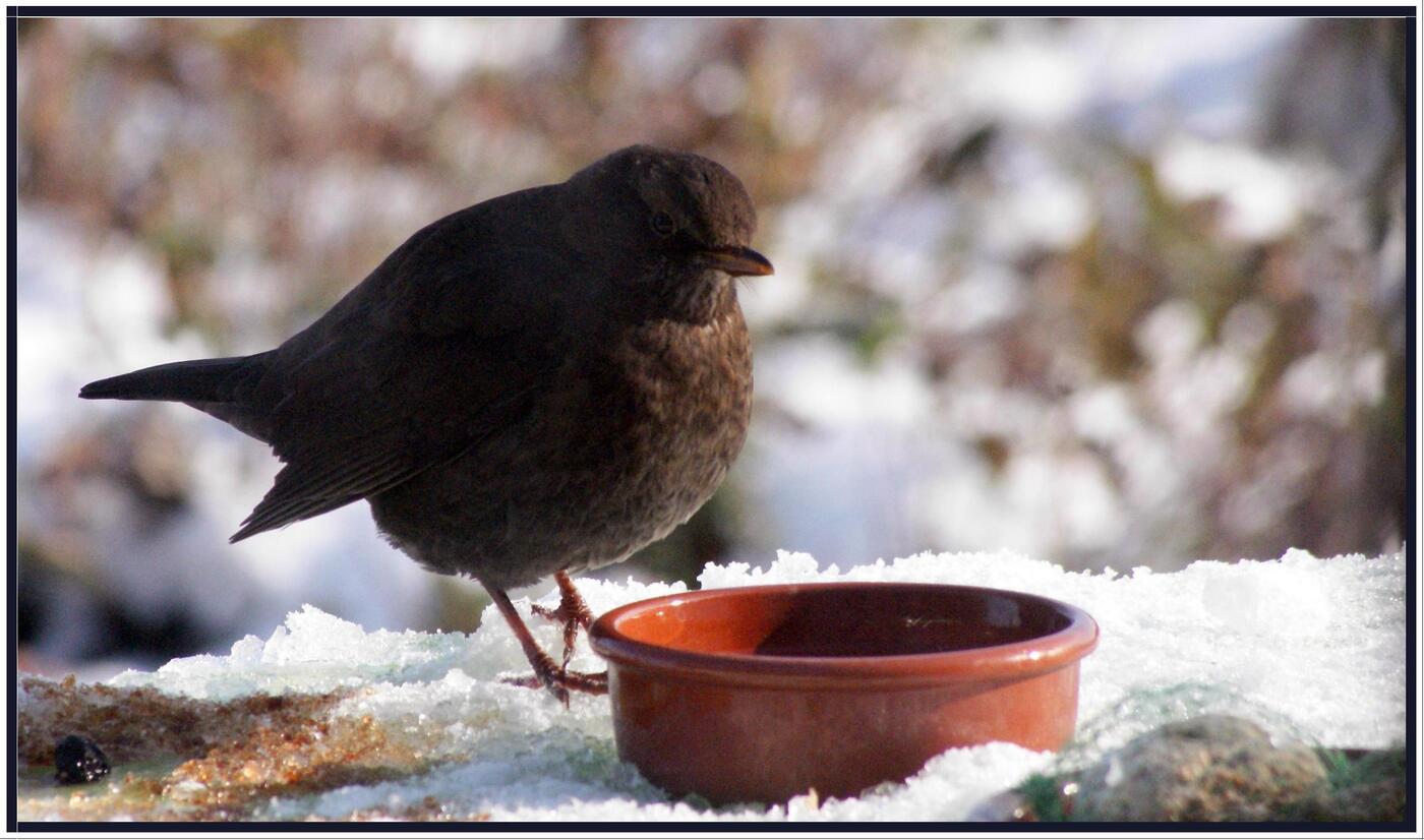 Grive d'hiver