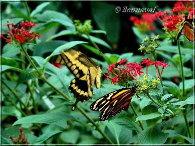 Papillons tropicaux Heliconius ismenius et Papilio heraclides thoas
