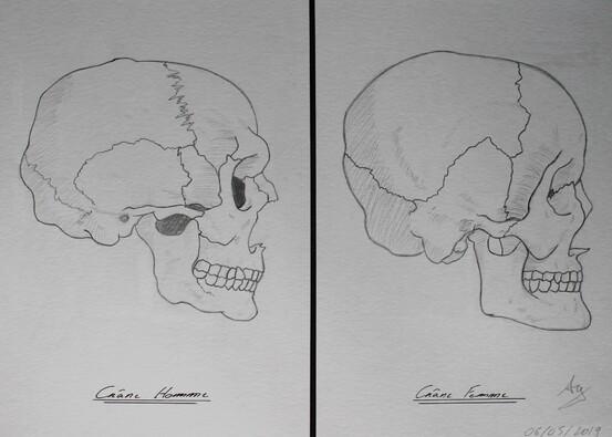 Anatomie #1 Crâne