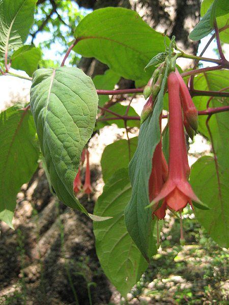 450px-Fuchsia fulgens2573554714b