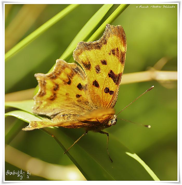 Le Robert-le-Diable (Polygonia c-album) - Nymphalidae