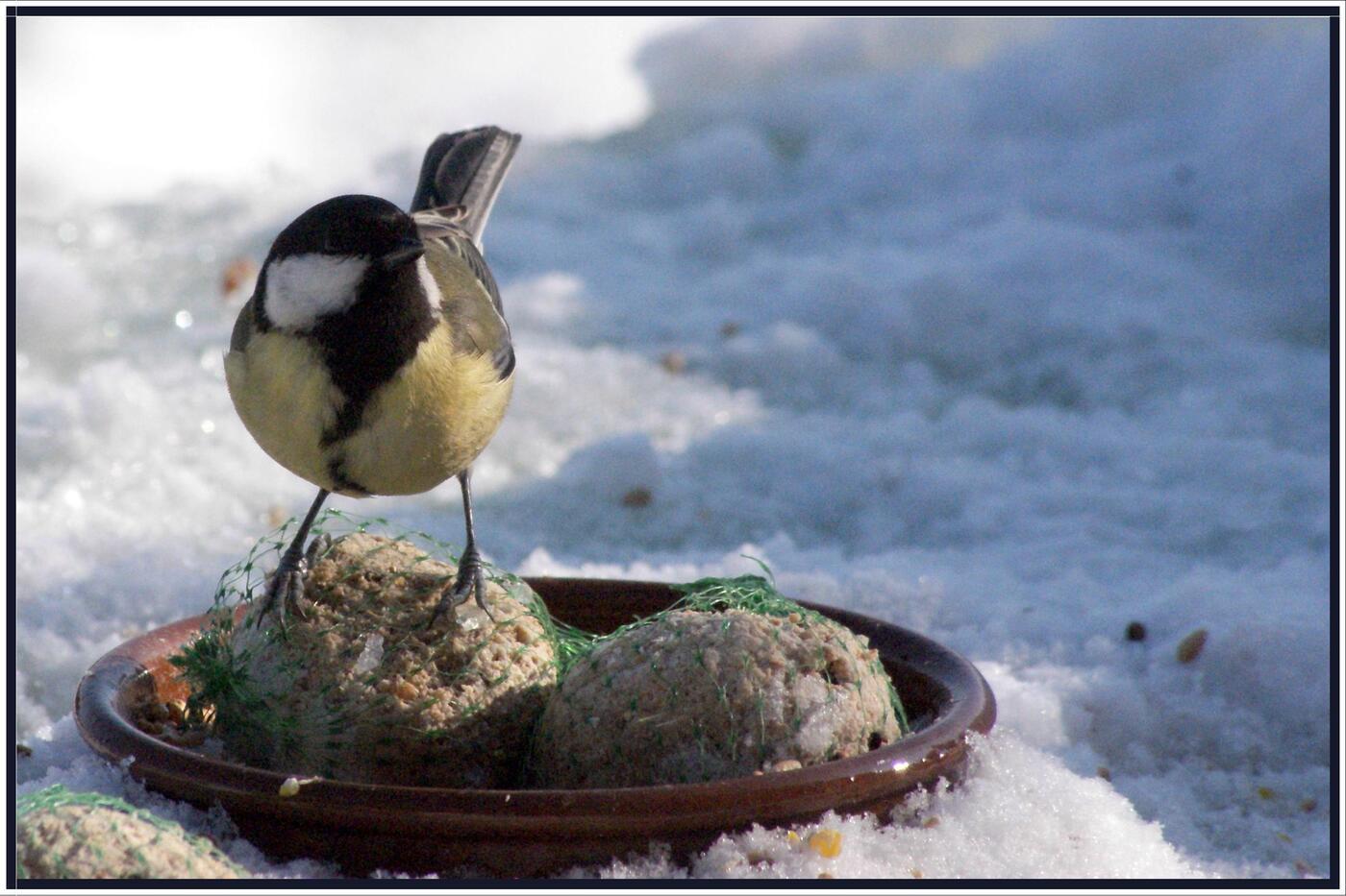 Mésanges en hiver