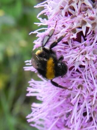 Liatris spicata, plumets violets ou Plume du Kansas