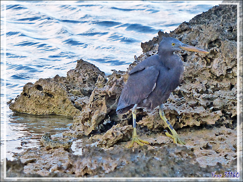 Aigrette sacrée forme sombre, Pacific reef heron (Egretta sacra) - Motu Aito - Atoll de Fakarava - Tuamotu - Polynésie française