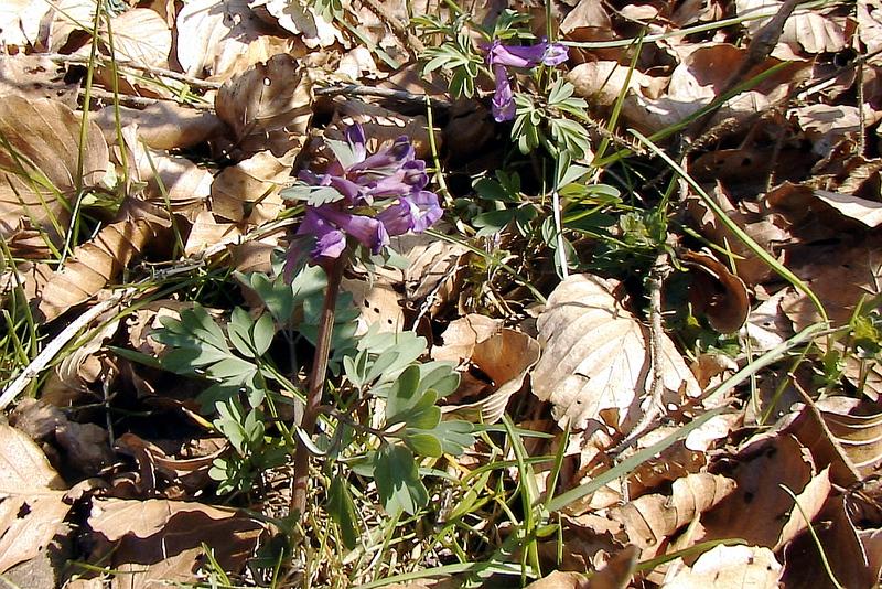 Corydale solide (Corydalis solida) - Col de Hougas - Milhas - 31