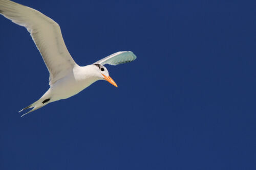 Sterne Royal (Royal Tern)