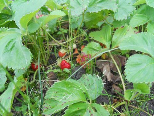 Ma récolte de fraises sur couches surelevées