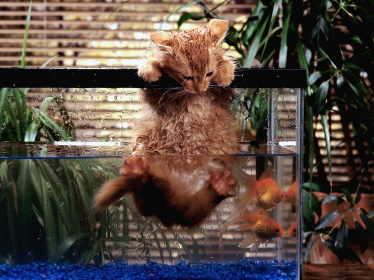 Chat D'Aquarium
