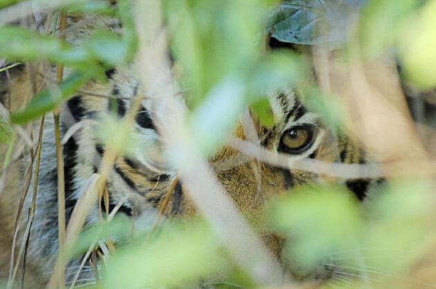 Sous-espèces de tigres
