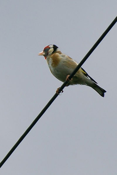 399px-Goldfinch On A Wire - geograph org uk - 192274