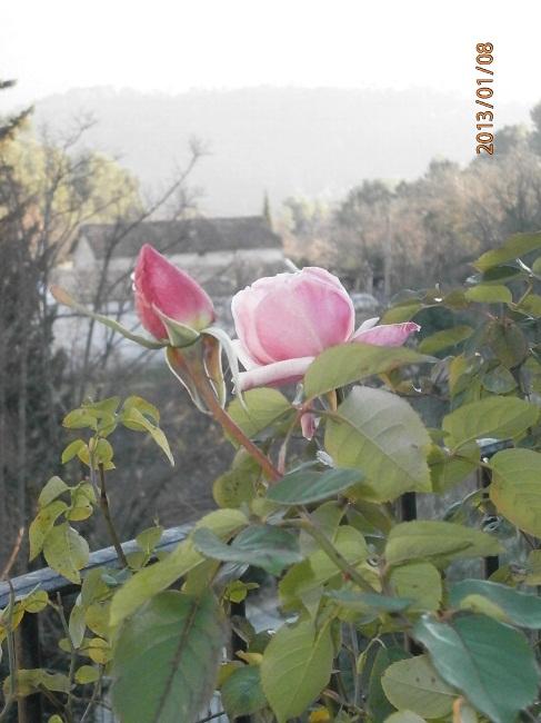 Déjà des roses