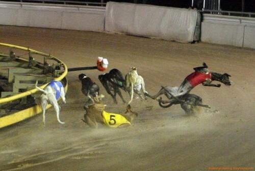 Greyhounds et Galgos et non pas Galgos contre Greyhounds.....
