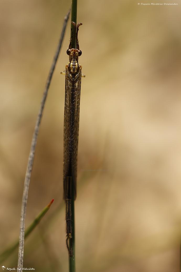 Fourmilion ♂ - Macronemurus appendiculatus
