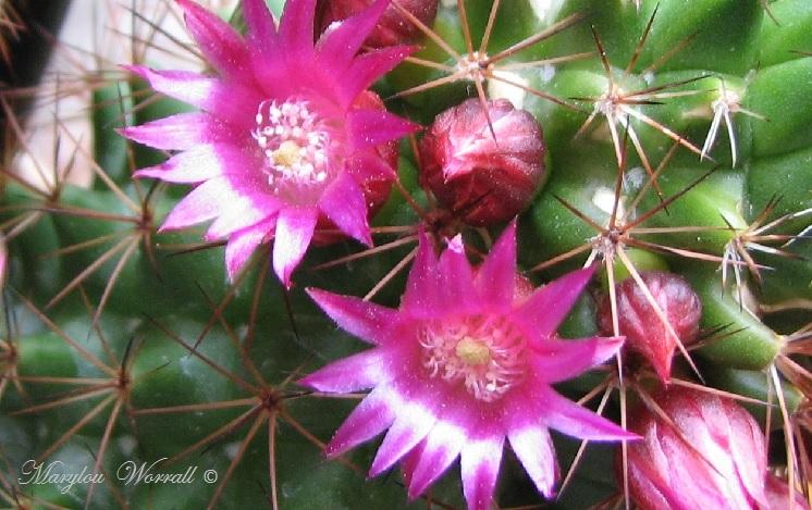 Mes cactus fleurissent