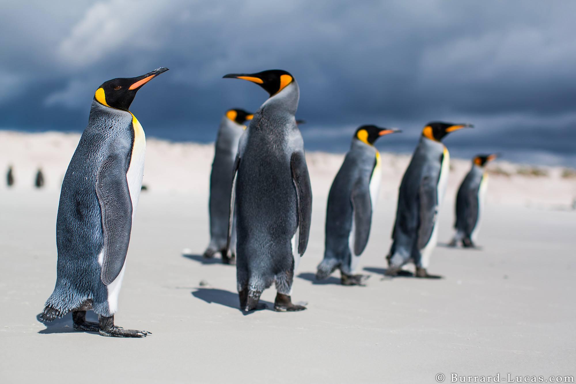 Cartes  Postales  PINGOUINS