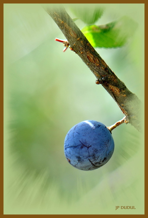 La prunelle