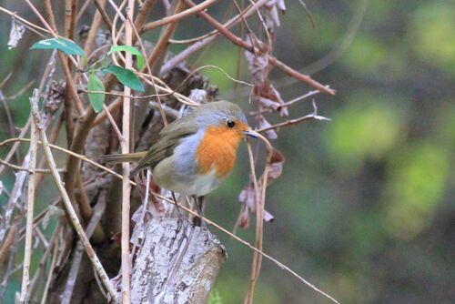 Rougegorge Familier (European Robin)