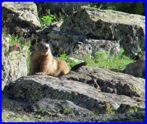 gros plan marmotte [640x480]
