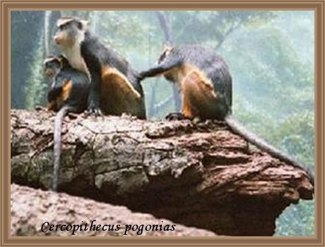 Cercopithecus pogonias