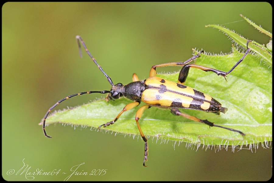 Longicorne : Leptura maculata