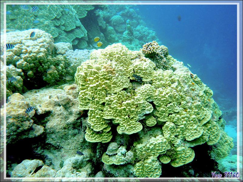 Vue sous-marine : merveilleux coraux - Atoll de Fakarava - Tuamotu - Polynésie française