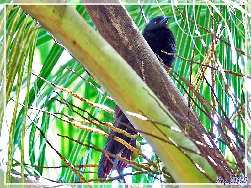 Dernières photos de Nosy Tsarabanjina : coucou Coucal toulou, Malagasy Coucal (Centropus toulou) - Archipel des Mitsio - Madagascar