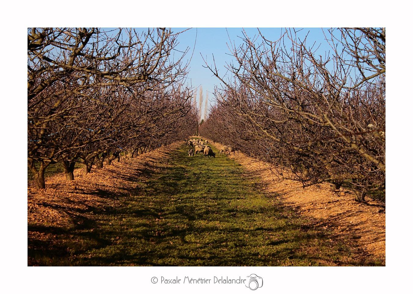 Dans les abricotiers, les débroussailleurs naturels.
