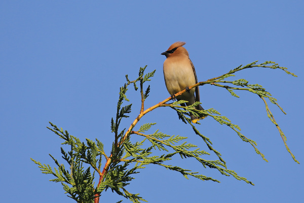 Cedar Waxwing - Little River Inn