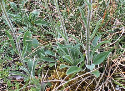 Aster alpinus subsp. cebennensis - aster des Causses