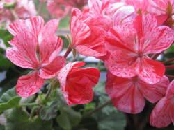 Première fleur du géranium