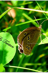 Tristan ou Aphantopus Hyperanthus