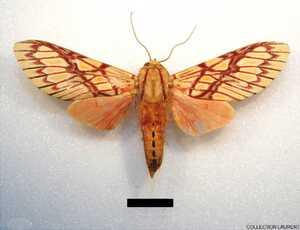 Hypidalia