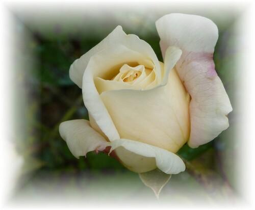mes roses préférées