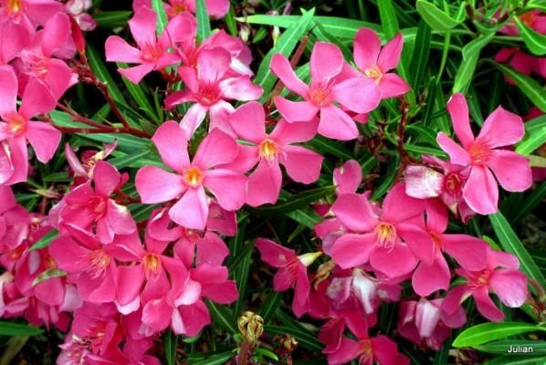 av02---laurier-rose.JPG