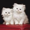 Chatons blancs