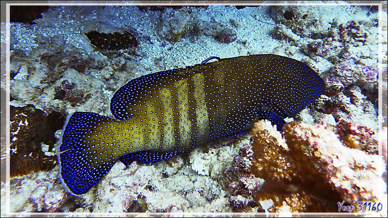 Mérou paon ou Mérou céleste ou Vieille cuisinière, Peacock hind or Peacock grouper (Cephalopholis argus) - Tumakohua (passe sud) - Atoll de Fakarava - Tuamotu - Polynésie