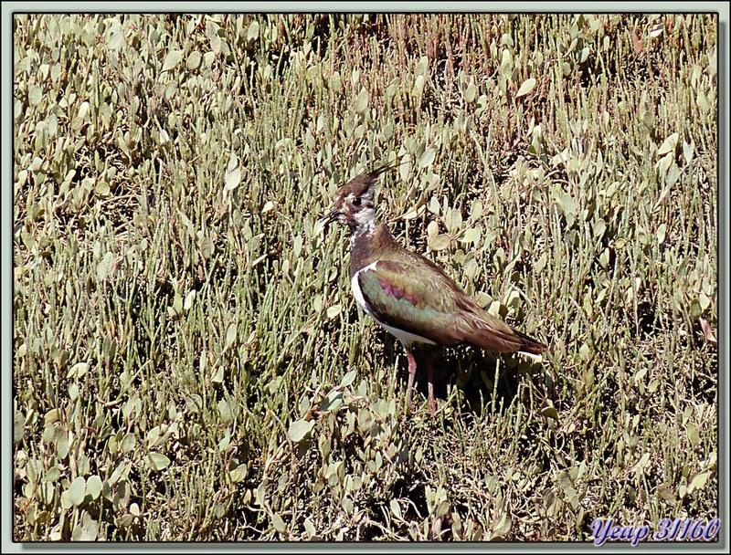 Vanneau huppé (Vanellus vanellus) - La Couarde-sur-Mer - 17